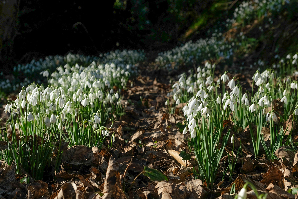 Milne_Graden_Snowdrops_stretching_along_river_path