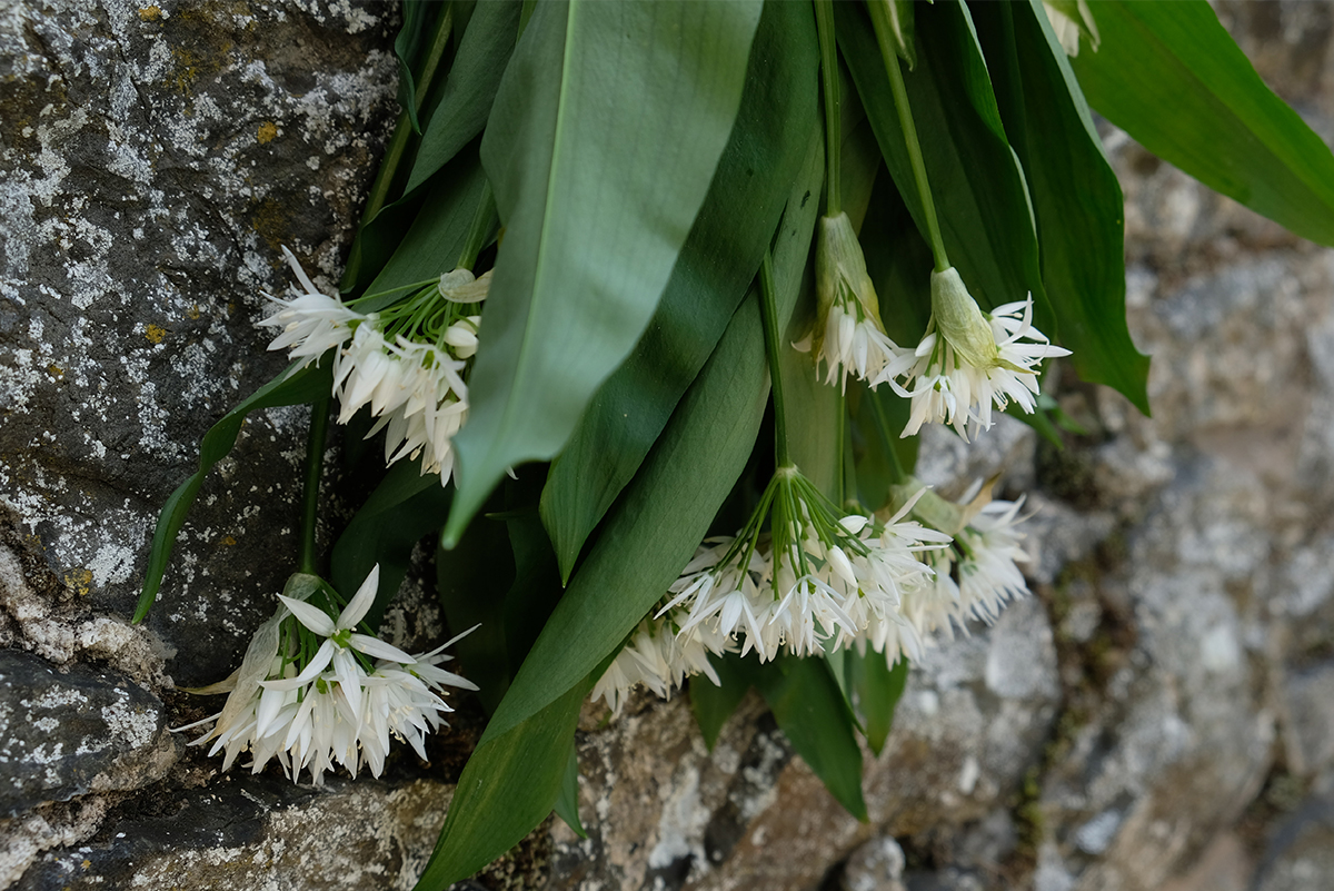 Wild-Garlic-Bunch-hanging-from-garden-wall