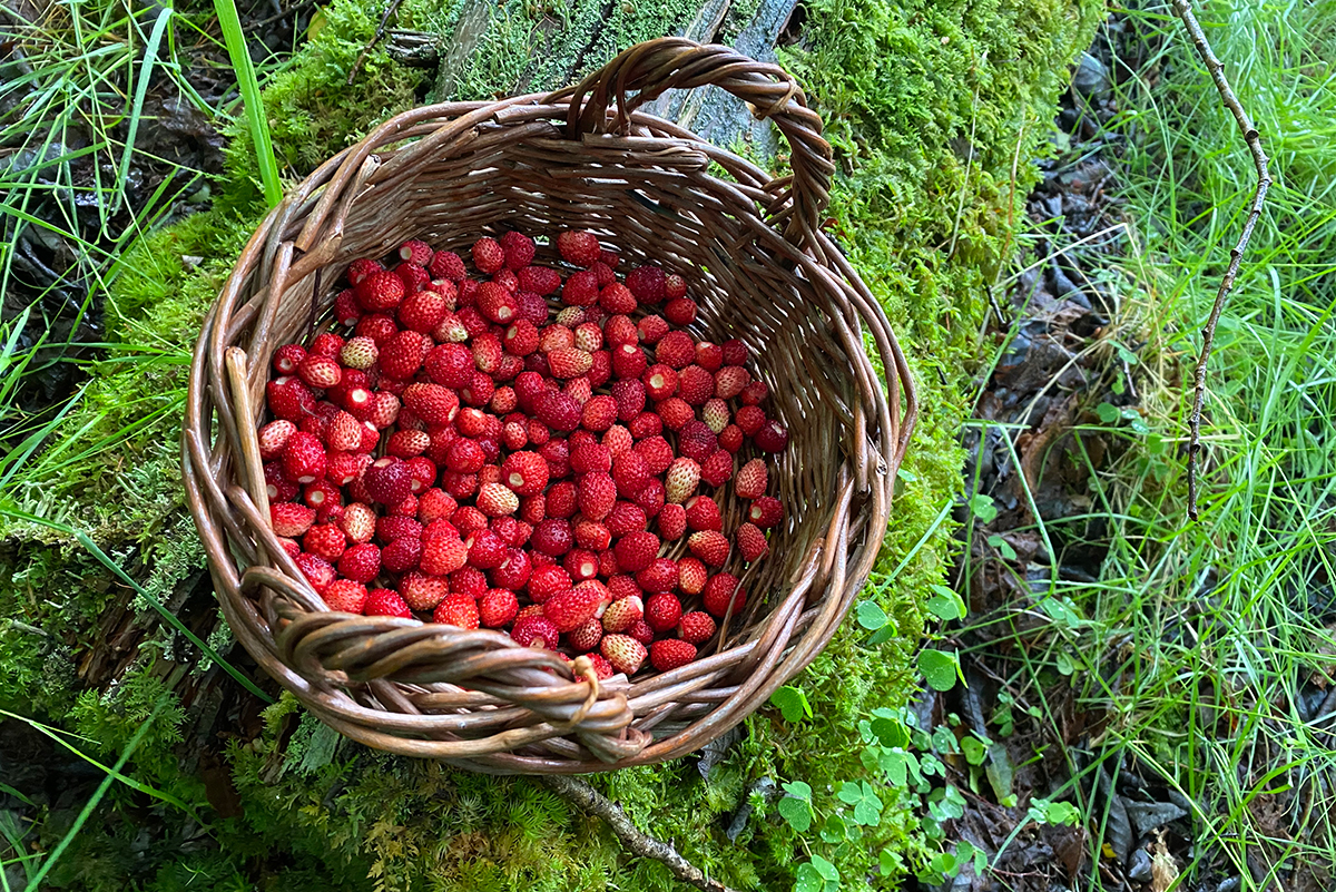 Summer-Wild-Strawberries-in-basket-sitting-on-a-log