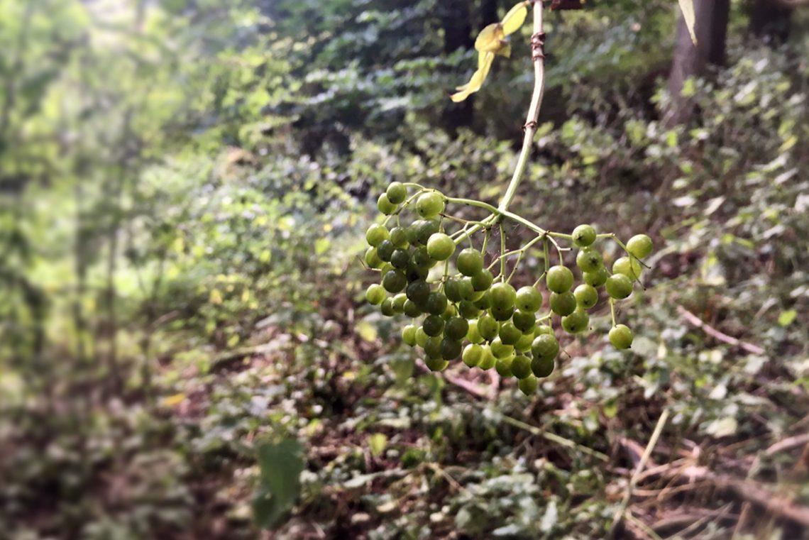 Almost-ripe-elderberries-on-Milne-Graden-river-walk