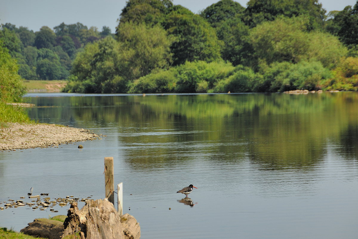 Milne-Graden-Fishing-River-Tweed-Wildlife-Oystercatcher