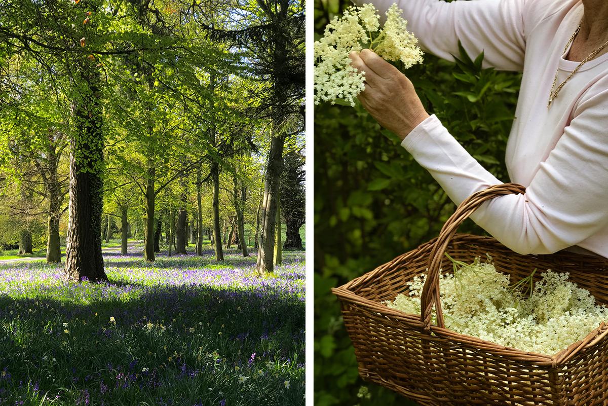 Milne_Graden_Spring_bluebells_under_trees_and_foraging_elderflowers_with_basket