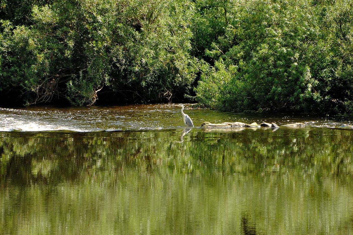 Milne_Graden_resident_heron_fishing_in_river_tweed