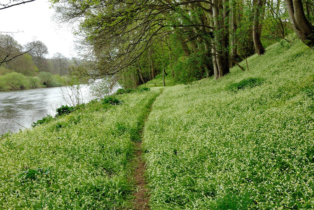 Milne_Graden_wild_garlic_and_leeks_along_river_Tweed_path