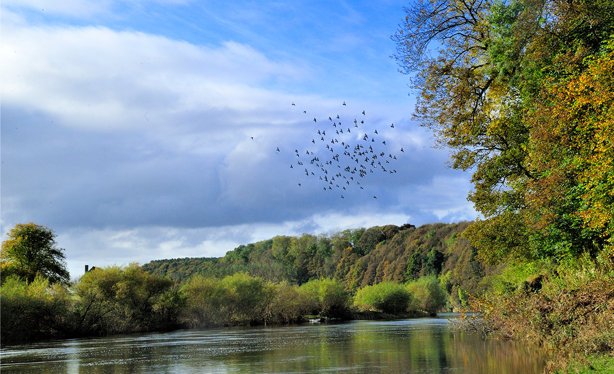 Milne-Graden-Fishing-River-Tweed-View-Autumn_Birds_in_flight