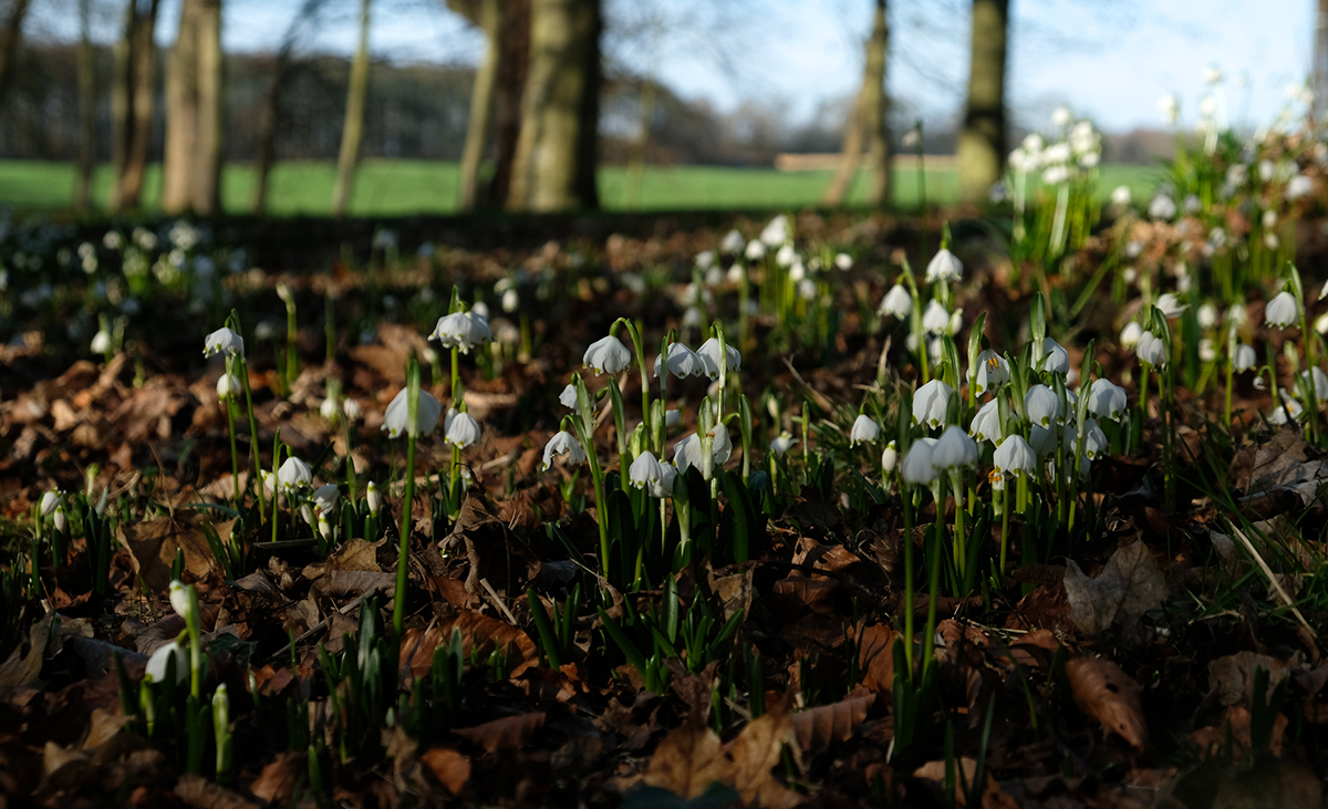 February-at-Milne-Graden-looking-through-Spring-Snowdrops-2